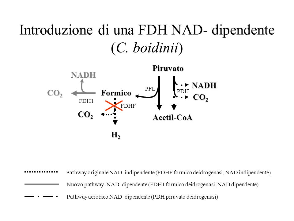 Introduzione di una FDH NAD- dipendente (C. boidinii) Piruvato Acetil-CoA Formico CO 2 H2H2H2H2 NADH FDH1 PDH PFL FDHF NADH Pathway originale NAD indi