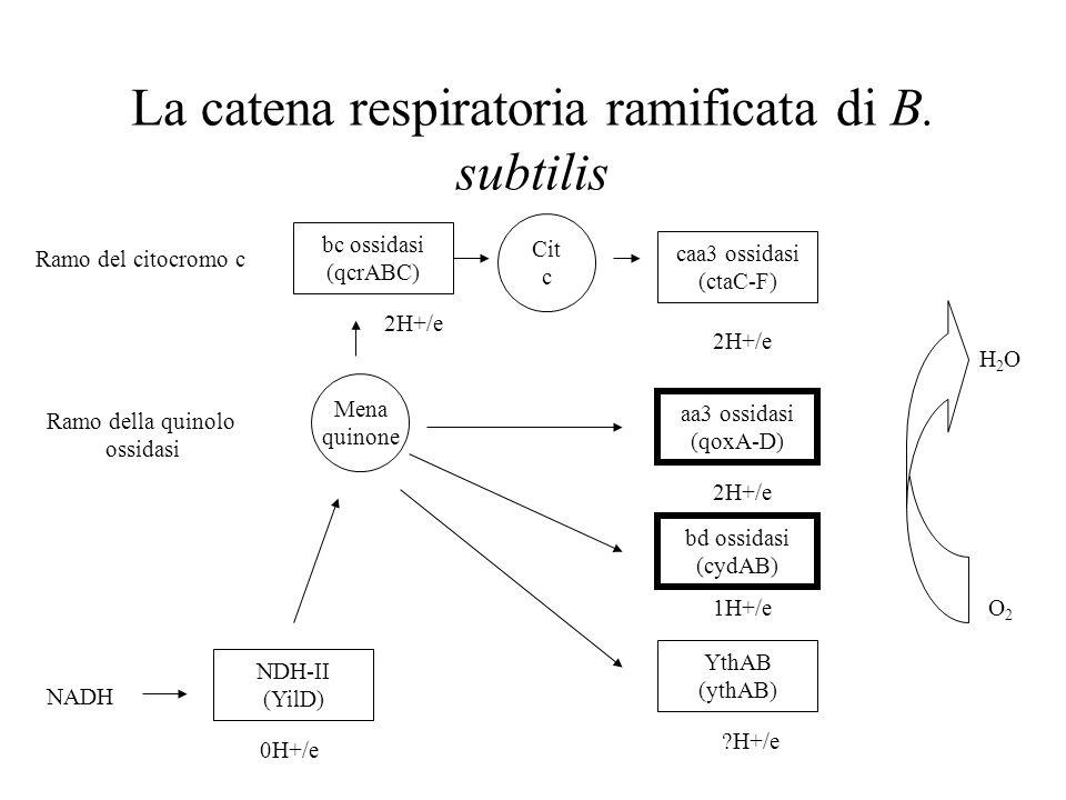 La catena respiratoria ramificata di B. subtilis Ramo del citocromo c Ramo della quinolo ossidasi NADH Mena quinone Cit c aa3 ossidasi (qoxA-D) caa3 o