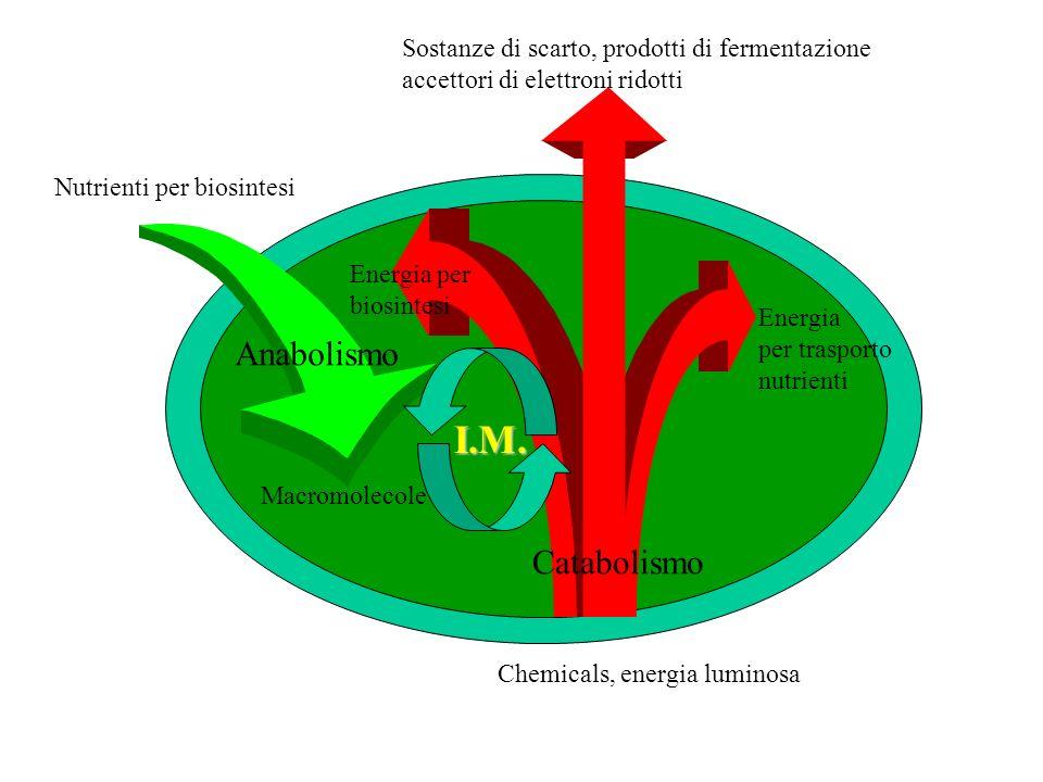 I.M. Nutrienti per biosintesi Anabolismo Macromolecole Energia per biosintesi Catabolismo Energia per trasporto nutrienti Sostanze di scarto, prodotti