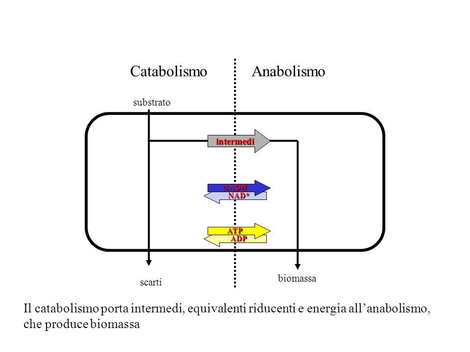 CatabolismoAnabolismo substrato scarti biomassa ADP ATP NAD* NADH intermedi Il catabolismo porta intermedi, equivalenti riducenti e energia allanaboli
