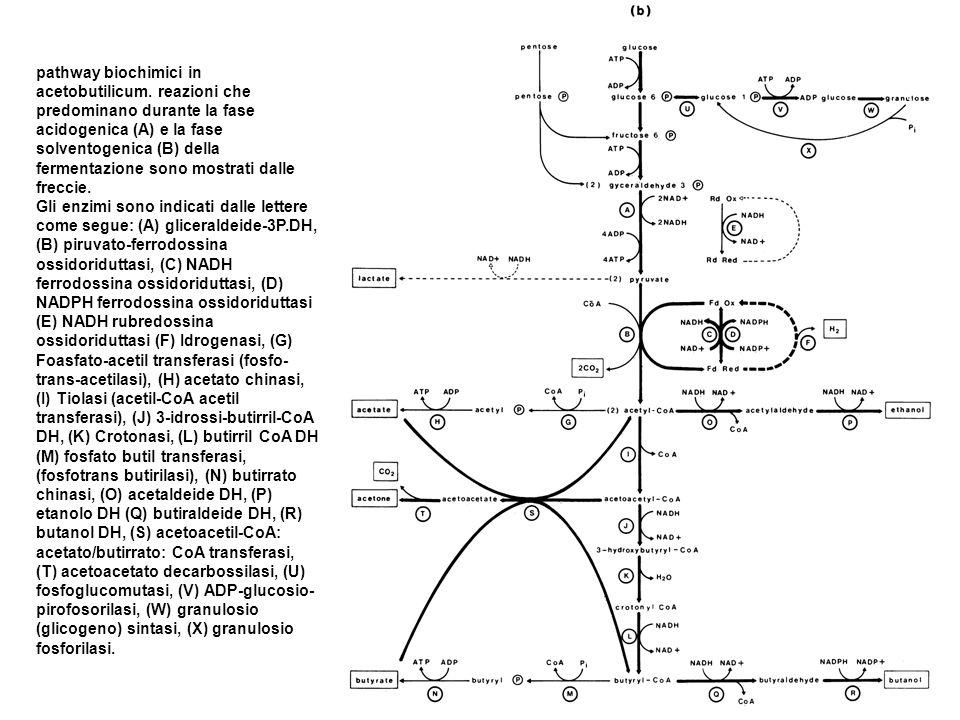 pathway biochimici in acetobutilicum. reazioni che predominano durante la fase acidogenica (A) e la fase solventogenica (B) della fermentazione sono m