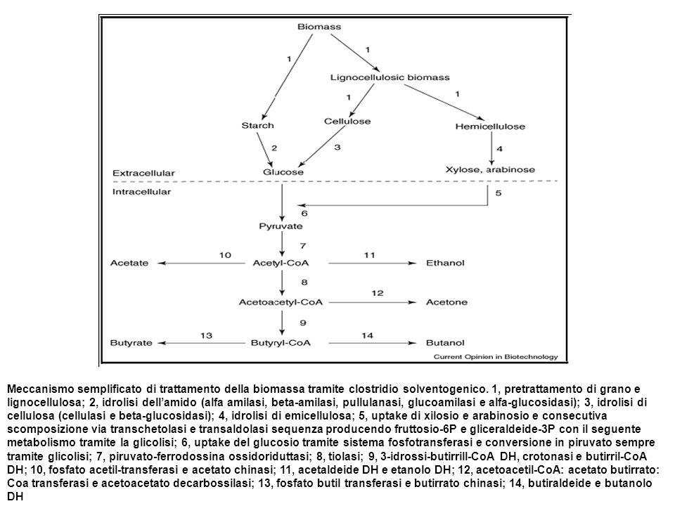 Meccanismo semplificato di trattamento della biomassa tramite clostridio solventogenico. 1, pretrattamento di grano e lignocellulosa; 2, idrolisi dell