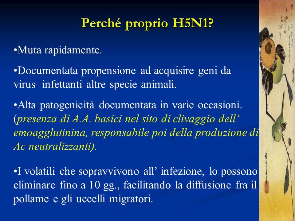 Perché proprio H5N1? Muta rapidamente. Documentata propensione ad acquisire geni da virus infettanti altre specie animali. Alta patogenicità documenta