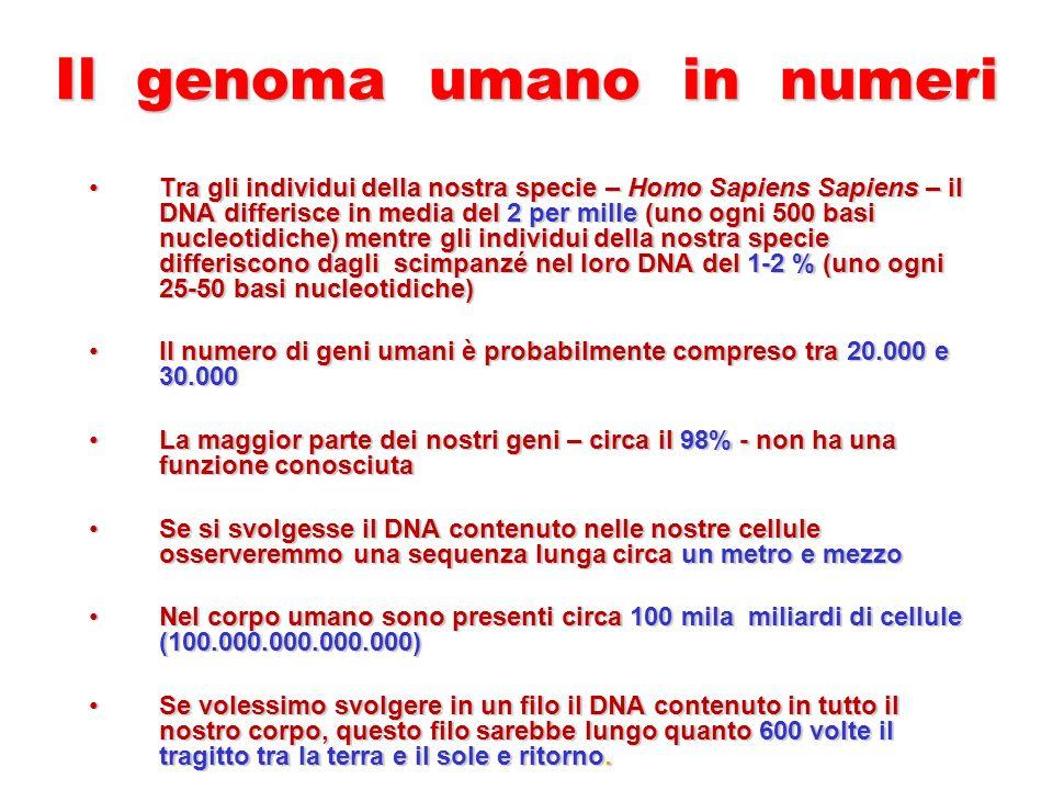 Il genoma umano in numeri Tra gli individui della nostra specie – Homo Sapiens Sapiens – il DNA differisce in media del 2 per mille (uno ogni 500 basi nucleotidiche) mentre gli individui della nostra specie differiscono dagli scimpanzé nel loro DNA del 1-2 % (uno ogni 25-50 basi nucleotidiche)Tra gli individui della nostra specie – Homo Sapiens Sapiens – il DNA differisce in media del 2 per mille (uno ogni 500 basi nucleotidiche) mentre gli individui della nostra specie differiscono dagli scimpanzé nel loro DNA del 1-2 % (uno ogni 25-50 basi nucleotidiche) Il numero di geni umani è probabilmente compreso tra 20.000 e 30.000Il numero di geni umani è probabilmente compreso tra 20.000 e 30.000 La maggior parte dei nostri geni – circa il 98% - non ha una funzione conosciutaLa maggior parte dei nostri geni – circa il 98% - non ha una funzione conosciuta Se si svolgesse il DNA contenuto nelle nostre cellule osserveremmo una sequenza lunga circa un metro e mezzoSe si svolgesse il DNA contenuto nelle nostre cellule osserveremmo una sequenza lunga circa un metro e mezzo Nel corpo umano sono presenti circa 100 mila miliardi di cellule (100.000.000.000.000)Nel corpo umano sono presenti circa 100 mila miliardi di cellule (100.000.000.000.000) Se volessimo svolgere in un filo il DNA contenuto in tutto il nostro corpo, questo filo sarebbe lungo quanto 600 volte il tragitto tra la terra e il sole e ritorno.Se volessimo svolgere in un filo il DNA contenuto in tutto il nostro corpo, questo filo sarebbe lungo quanto 600 volte il tragitto tra la terra e il sole e ritorno.