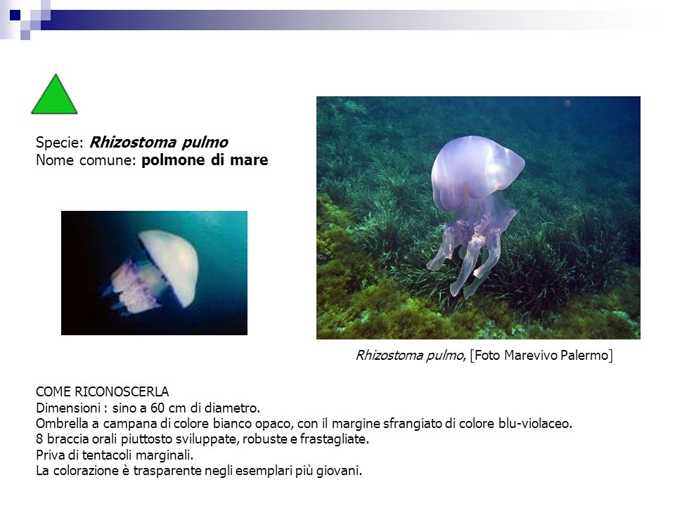 Specie: Rhizostoma pulmo Nome comune: polmone di mare COME RICONOSCERLA Dimensioni : sino a 60 cm di diametro. Ombrella a campana di colore bianco opa