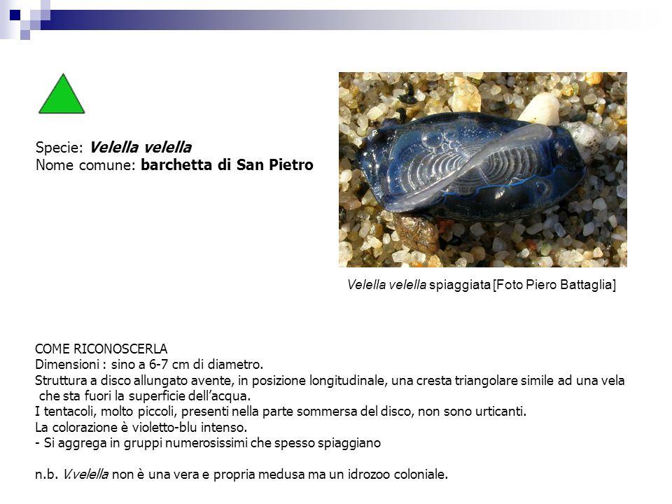 Specie: Velella velella Nome comune: barchetta di San Pietro COME RICONOSCERLA Dimensioni : sino a 6-7 cm di diametro. Struttura a disco allungato ave