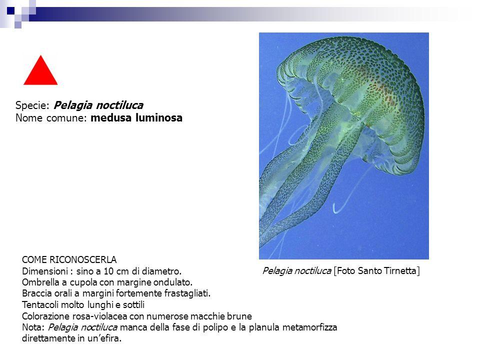 Specie: Pelagia noctiluca Nome comune: medusa luminosa COME RICONOSCERLA Dimensioni : sino a 10 cm di diametro. Ombrella a cupola con margine ondulato