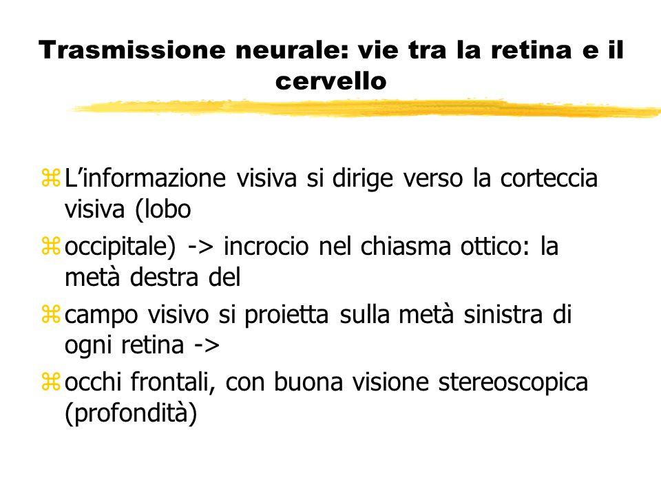 Trasmissione neurale: vie tra la retina e il cervello zLinformazione visiva si dirige verso la corteccia visiva (lobo zoccipitale) -> incrocio nel chi