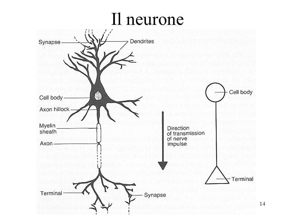 14 Il neurone