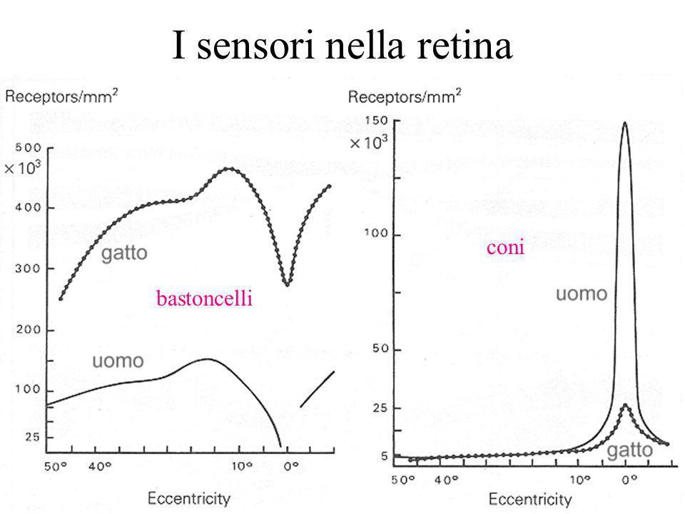 16 I sensori nella retina bastoncelli coni