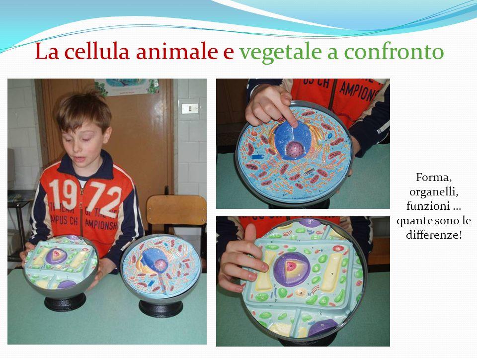 La cellula animale e vegetale a confronto Forma, organelli, funzioni … quante sono le differenze!
