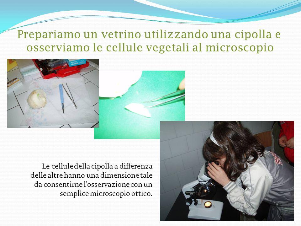 Prepariamo un vetrino utilizzando una cipolla e osserviamo le cellule vegetali al microscopio Le cellule della cipolla a differenza delle altre hanno