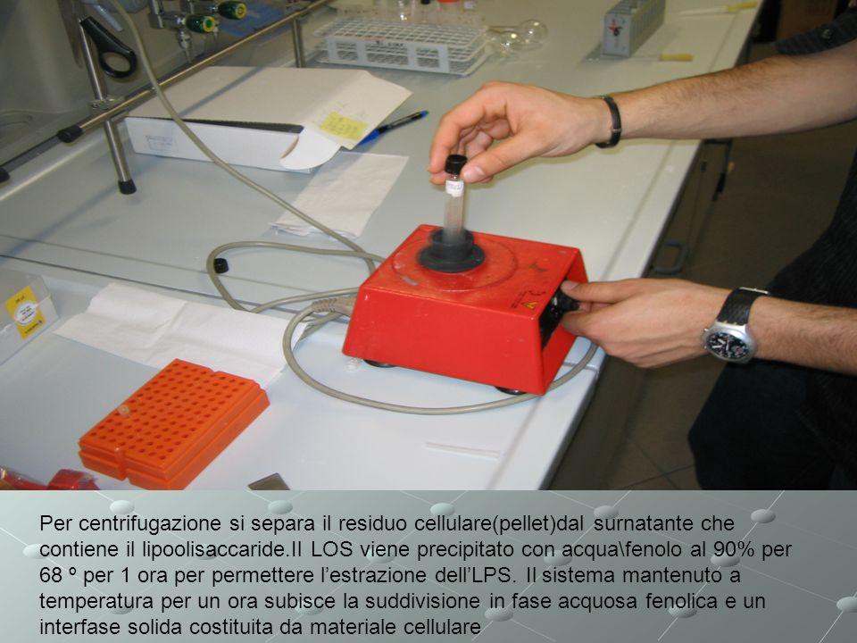 Per centrifugazione si separa il residuo cellulare(pellet)dal surnatante che contiene il lipoolisaccaride.Il LOS viene precipitato con acqua\fenolo al 90% per 68 º per 1 ora per permettere lestrazione dellLPS.