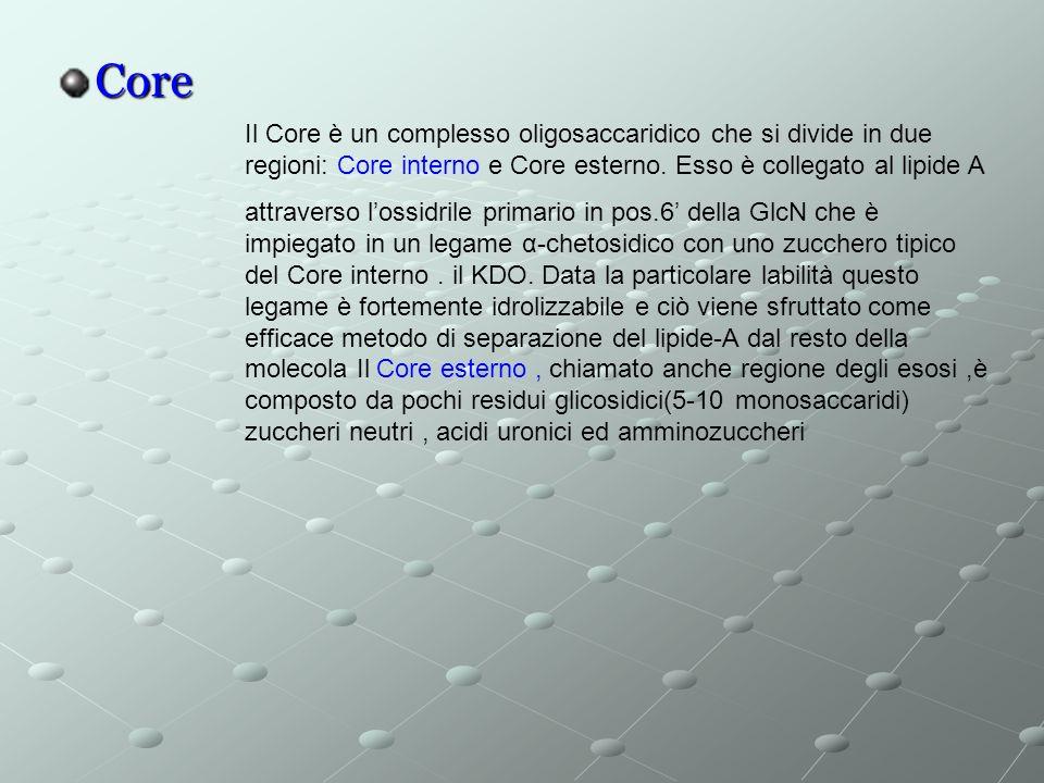 Core Il Core è un complesso oligosaccaridico che si divide in due regioni: Core interno e Core esterno.