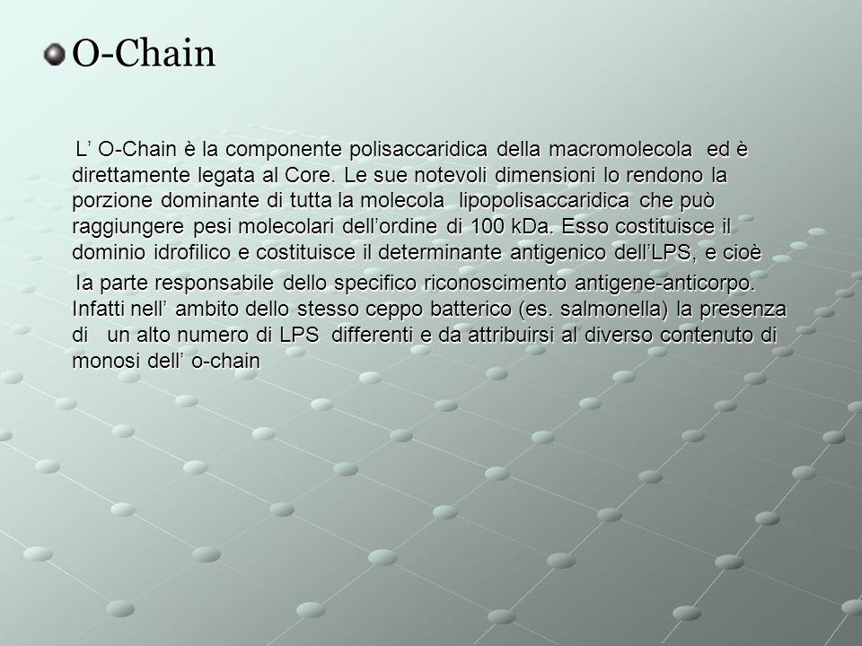 O-Chain L O-Chain è la componente polisaccaridica della macromolecola ed è direttamente legata al Core.