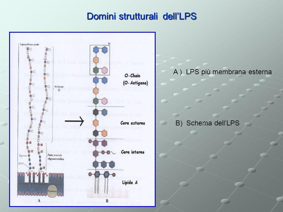 Domini strutturali dellLPS A ) LPS più membrana esterna B) Schema dellLPS
