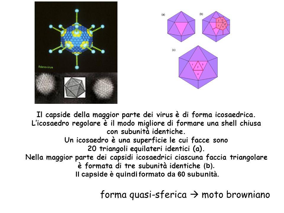 Il capside della maggior parte dei virus è di forma icosaedrica. Licosaedro regolare è il modo migliore di formare una shell chiusa con subunità ident