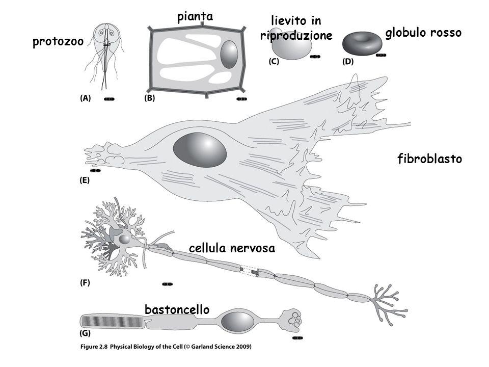protozoo pianta lievito in riproduzione globulo rosso fibroblasto cellula nervosa bastoncello