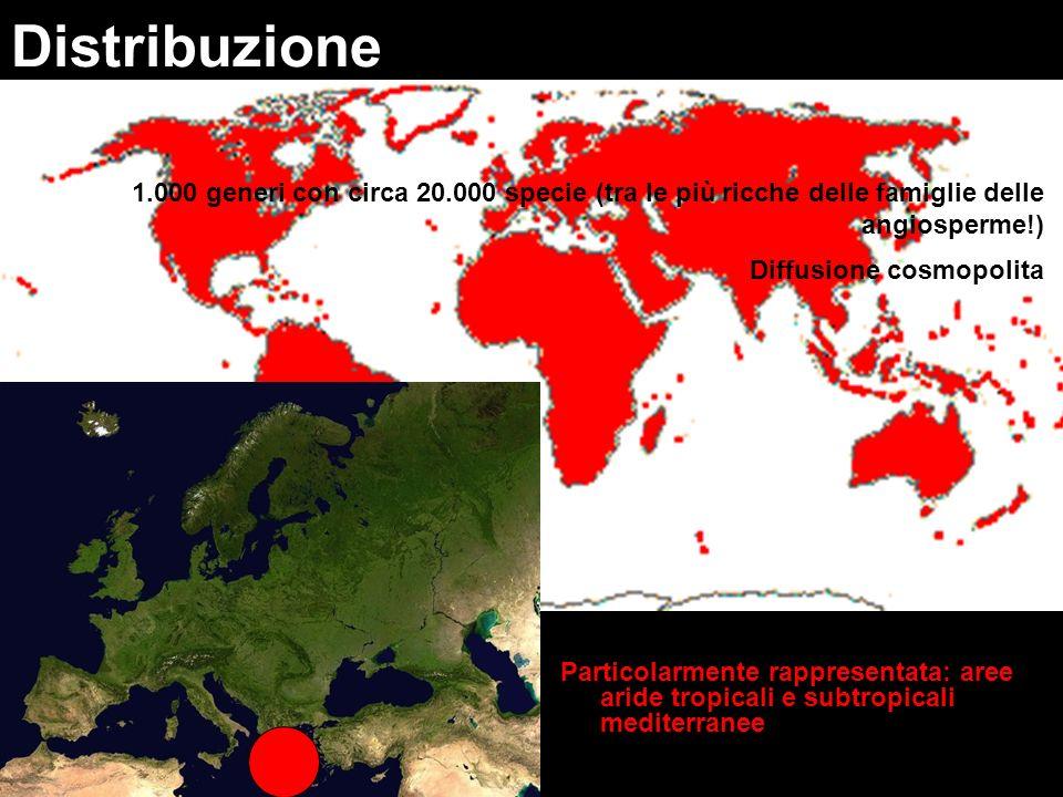 Particolarmente rappresentata: aree aride tropicali e subtropicali mediterranee Distribuzione 1.000 generi con circa 20.000 specie (tra le più ricche