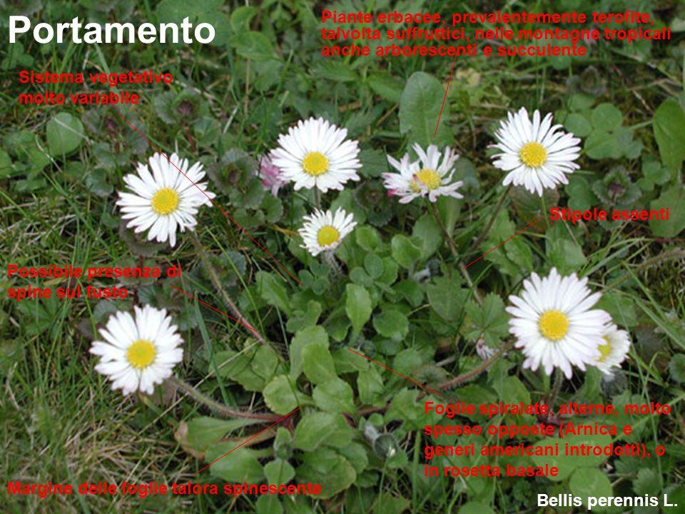 Bellis perennis L. Portamento Piante erbacee, prevalentemente terofite, talvolta suffruttici, nelle montagne tropicali anche arborescenti e succulente
