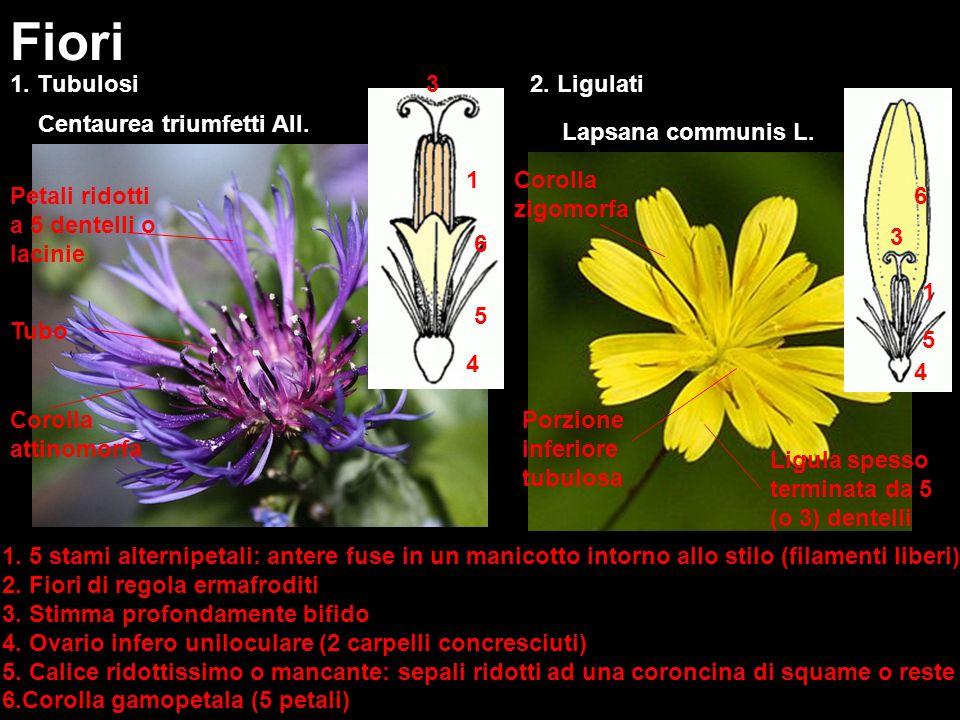 1. Tubulosi Fiori Centaurea triumfetti All. 2. Ligulati Lapsana communis L. Corolla attinomorfa Corolla zigomorfa Porzione inferiore tubulosa Tubo Pet