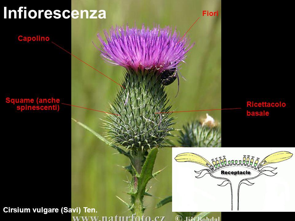 Infiorescenza – Distribuzione dei fiori 2.Sottofamiglia Cichorioideae (Liguliflorae) 1.