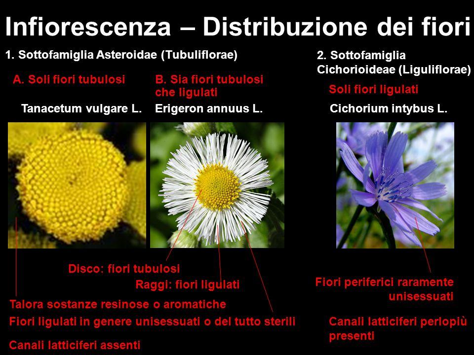 Infiorescenza – Distribuzione dei fiori 2. Sottofamiglia Cichorioideae (Liguliflorae) 1. Sottofamiglia Asteroidae (Tubuliflorae) Tanacetum vulgare L.E