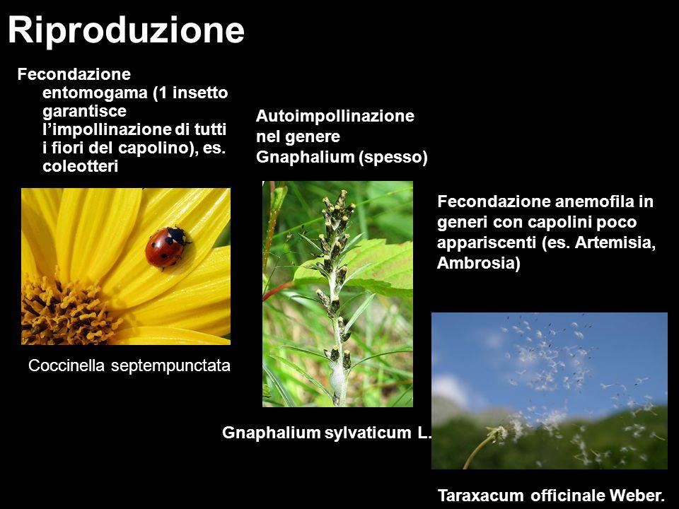 Fecondazione entomogama (1 insetto garantisce limpollinazione di tutti i fiori del capolino), es. coleotteri Riproduzione Coccinella septempunctata Fe