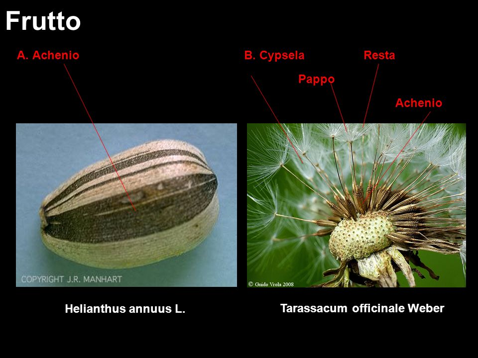 A. Achenio Frutto Tarassacum officinale Weber Pappo RestaB. Cypsela Helianthus annuus L. Achenio