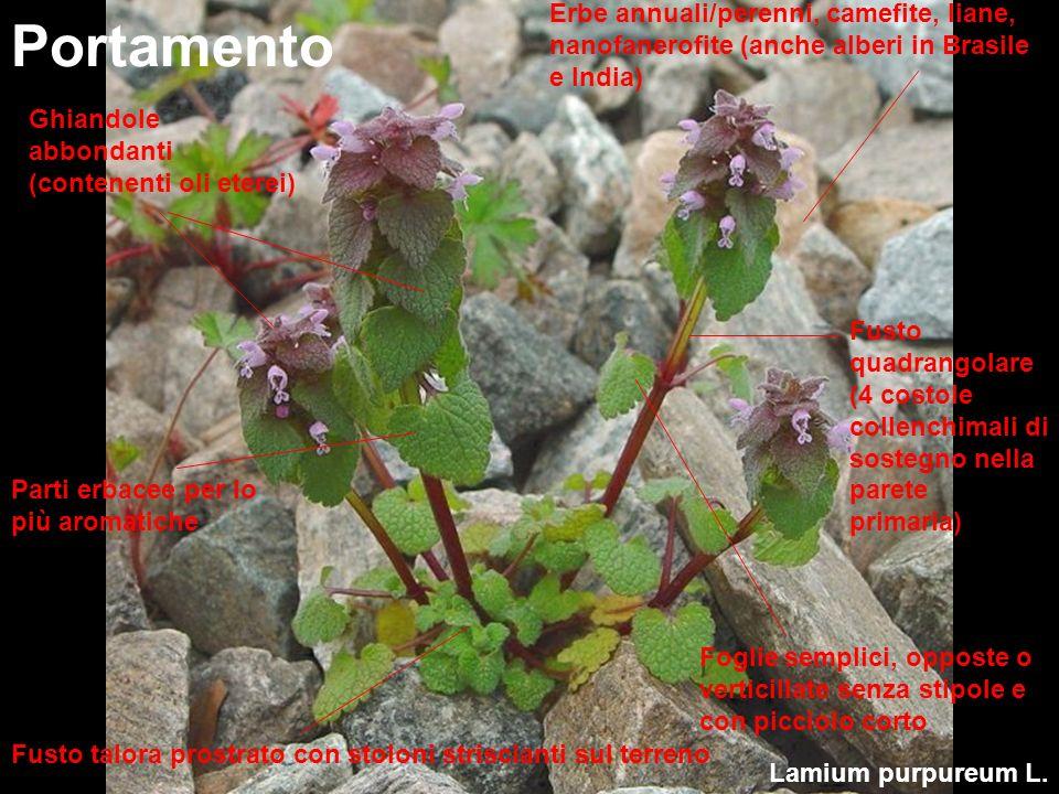 Lamium purpureum L. Portamento Erbe annuali/perenni, camefite, liane, nanofanerofite (anche alberi in Brasile e India) Fusto quadrangolare (4 costole