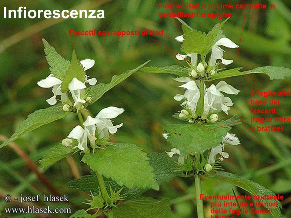 Infiorescenza Fascetti sovrapposti di fiori 2 foglie alla base dei fascetti: (foglie fiorali o brattee) Fiori solitari o in cime contratte in verticil