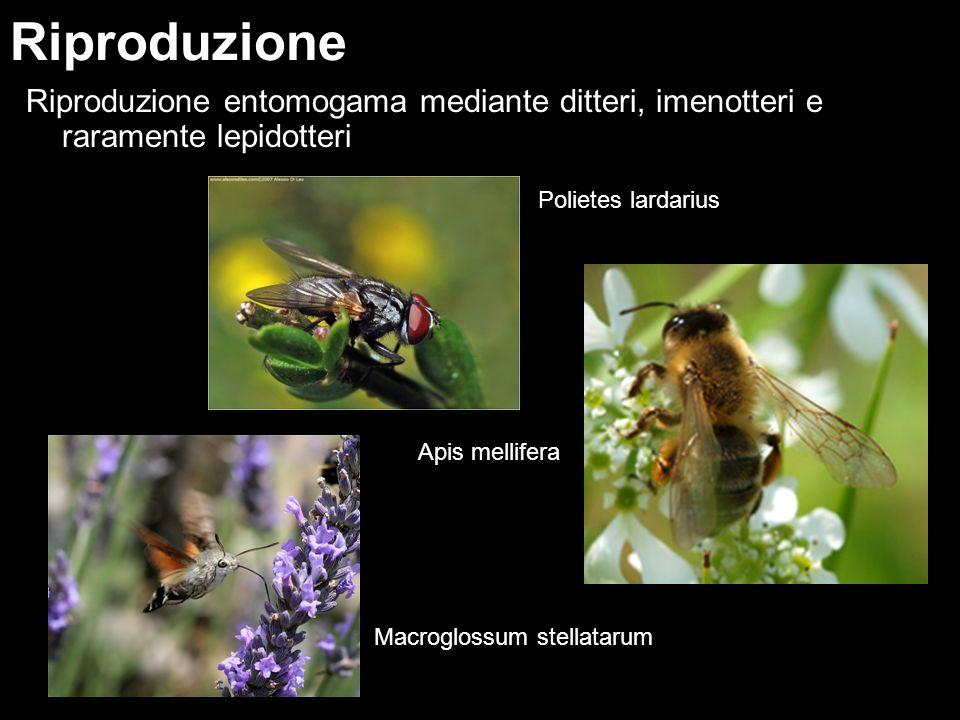 Riproduzione entomogama mediante ditteri, imenotteri e raramente lepidotteri Riproduzione Polietes lardarius Apis mellifera Macroglossum stellatarum