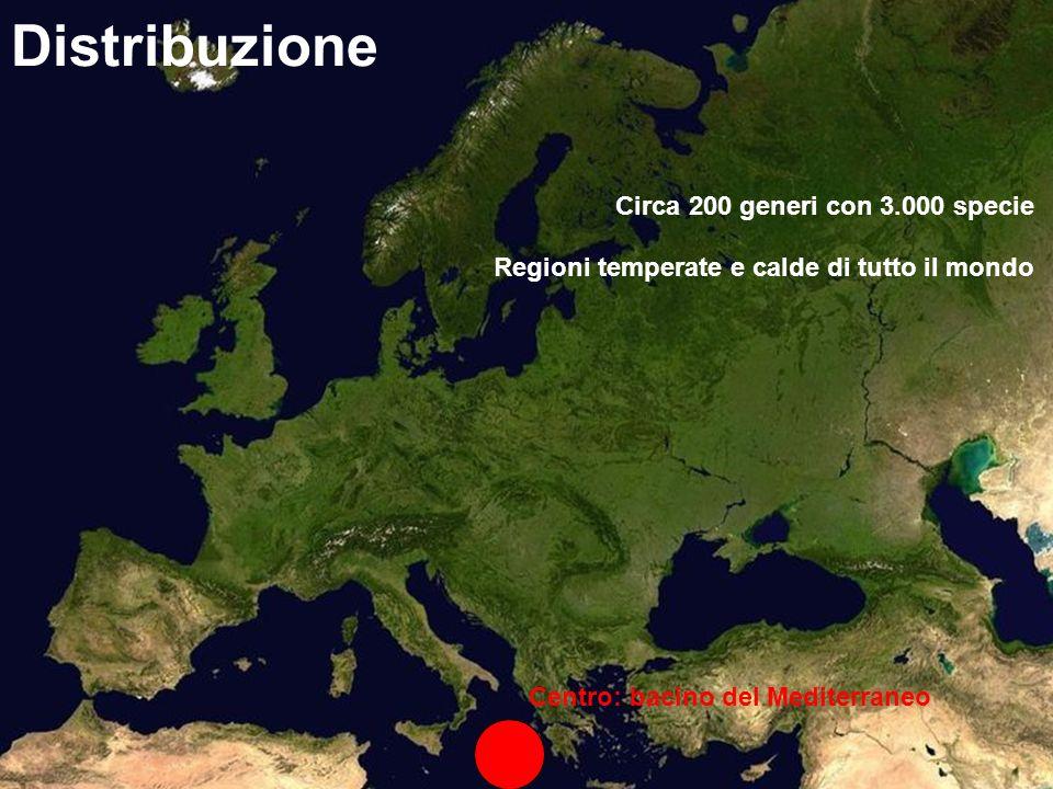 Centro: bacino del Mediterraneo Distribuzione Circa 200 generi con 3.000 specie Regioni temperate e calde di tutto il mondo