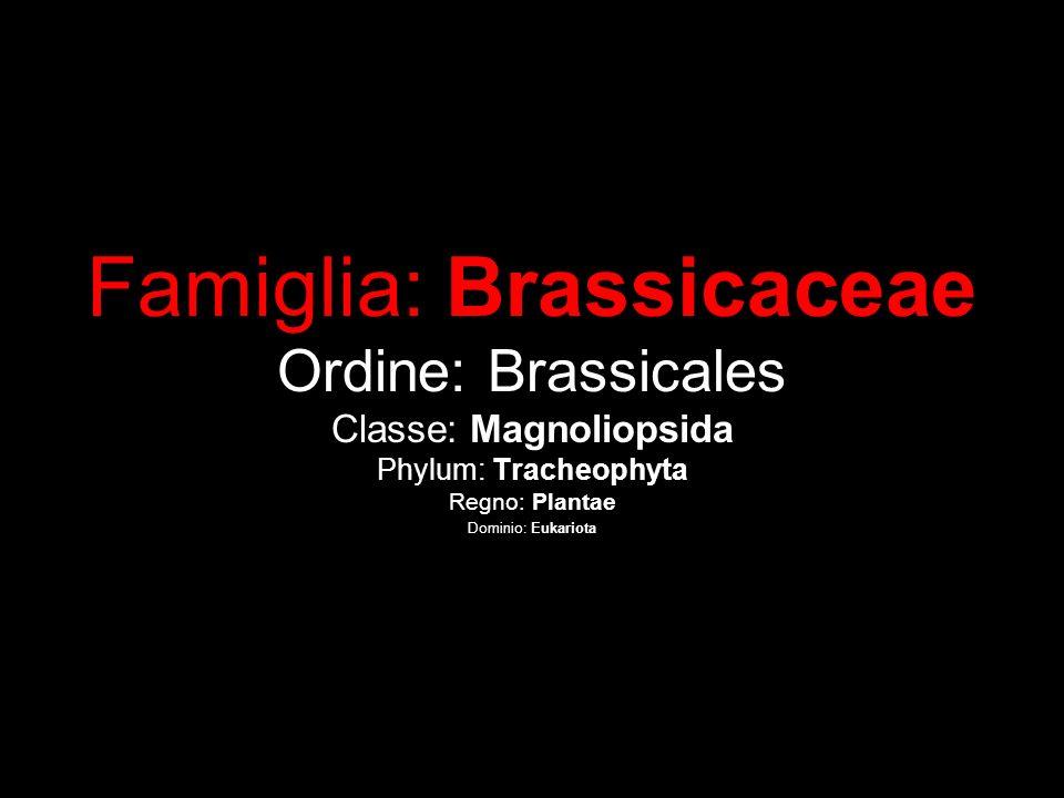 Famiglia: Brassicaceae Ordine: Brassicales Classe: Magnoliopsida Phylum: Tracheophyta Regno: Plantae Dominio: Eukariota