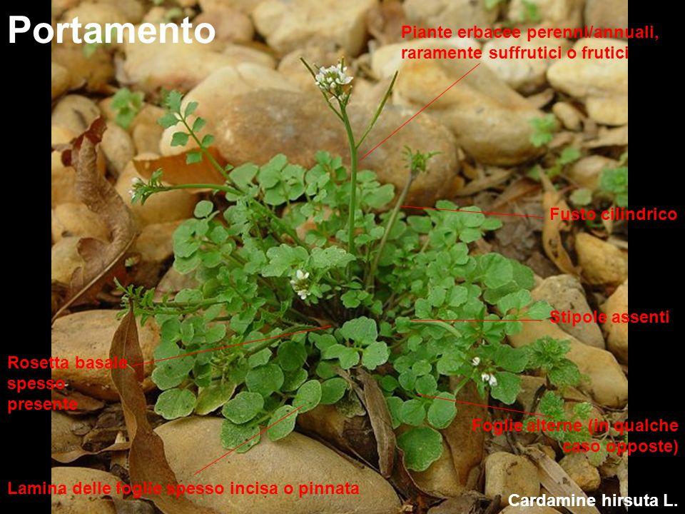 Cardamine hirsuta L. Portamento Piante erbacee perenni/annuali, raramente suffrutici o frutici Fusto cilindrico Foglie alterne (in qualche caso oppost