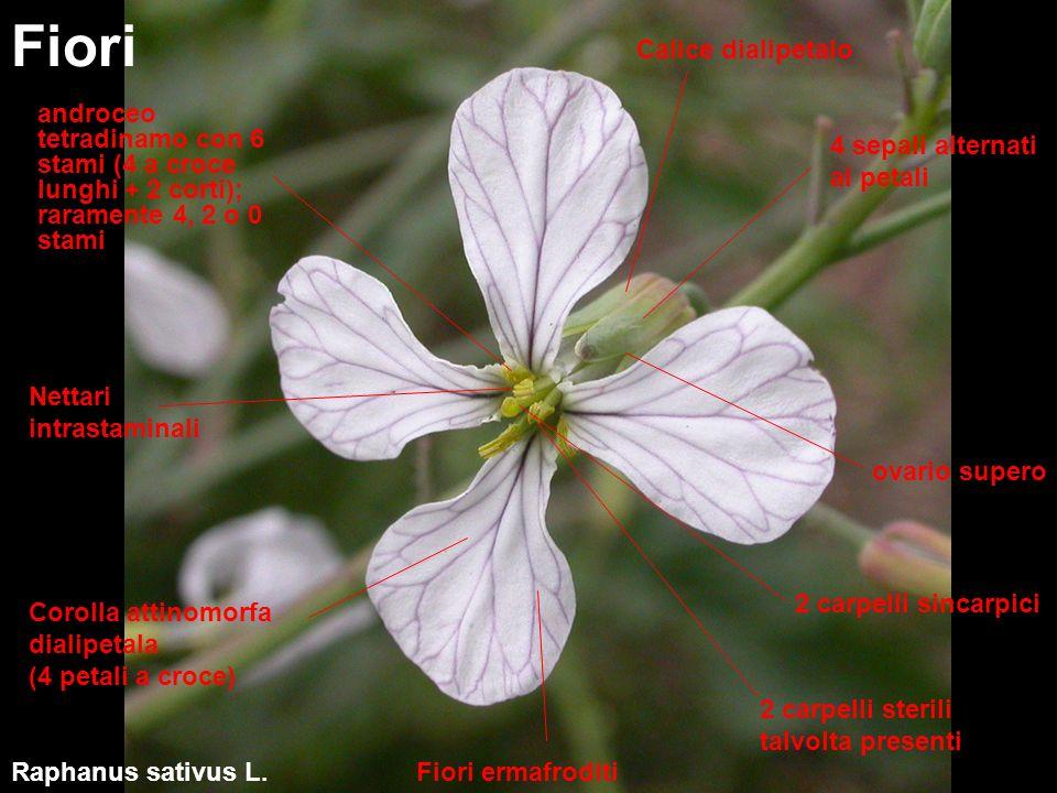 Fiori debolmente zigomorfi (Iberis, Teesdalea, Ionopsidum) Fiori - varianti Iberis sempervirens L.