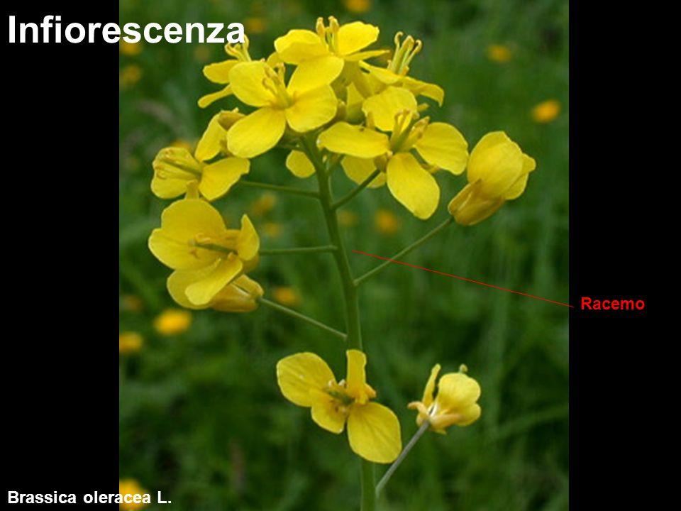 Riproduzione entomogama, es.imenotteri Riproduzione Xylocopa violacea L.