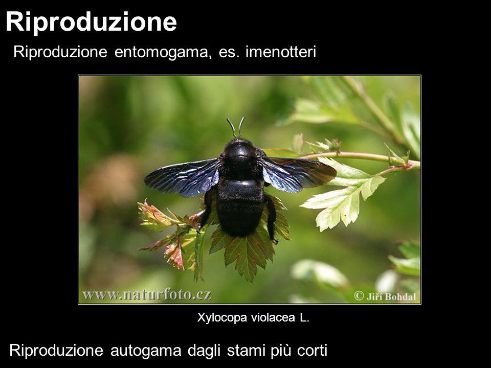 Riproduzione entomogama, es. imenotteri Riproduzione Xylocopa violacea L. Riproduzione autogama dagli stami più corti