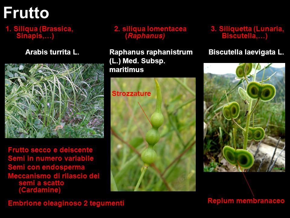 1. Siliqua (Brassica, Sinapis,…) Frutto 3. Siliquetta (Lunaria, Biscutella,…) Arabis turrita L.Biscutella laevigata L. Replum membranaceo Raphanus rap