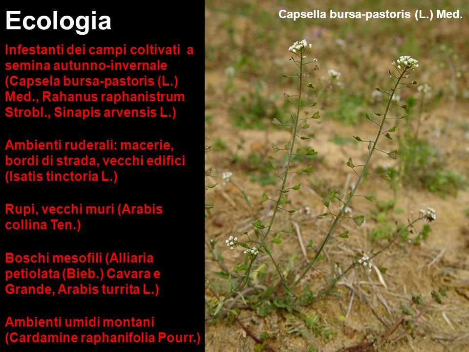 Ecologia Infestanti dei campi coltivati a semina autunno-invernale (Capsela bursa-pastoris (L.) Med., Rahanus raphanistrum Strobl., Sinapis arvensis L