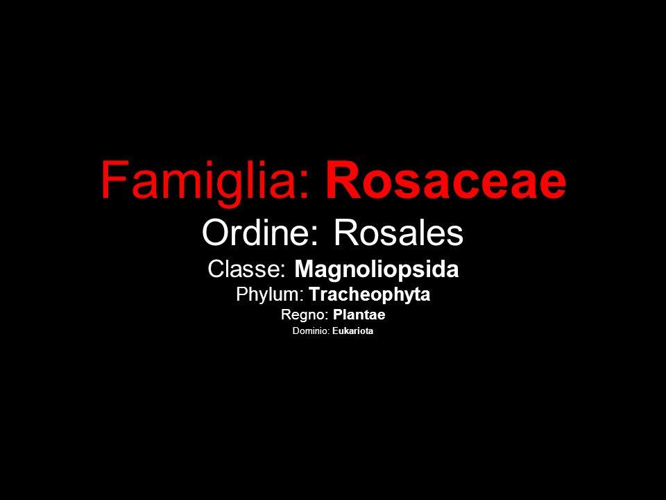 Famiglia: Rosaceae Ordine: Rosales Classe: Magnoliopsida Phylum: Tracheophyta Regno: Plantae Dominio: Eukariota