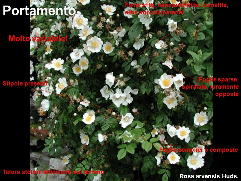 Rosa arvensis Huds. Portamento Fanerofite, nanofanerofite, camefite, erbe annuali/perenni Stipole presenti Foglie semplici o composte Molto variabile!