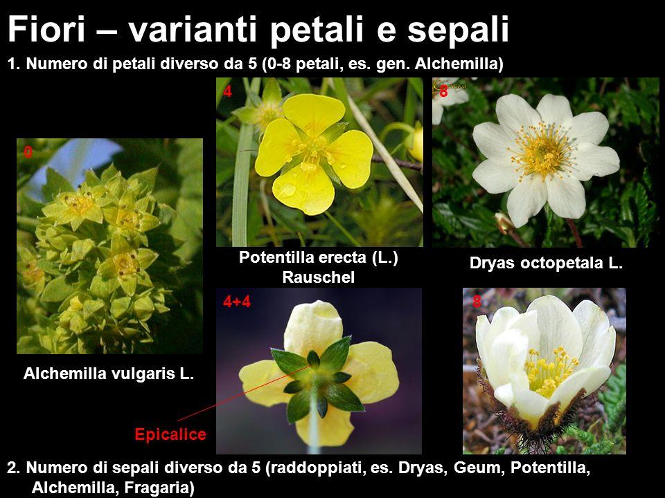 1. Numero di petali diverso da 5 (0-8 petali, es. gen. Alchemilla) Fiori – varianti petali e sepali Alchemilla vulgaris L. 2. Numero di sepali diverso