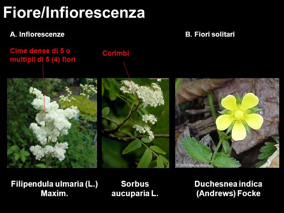 Fiore/Infiorescenza B. Fiori solitari Filipendula ulmaria (L.) Maxim. Cime dense di 5 o multipli di 5 (4) fiori Duchesnea indica (Andrews) Focke Corim