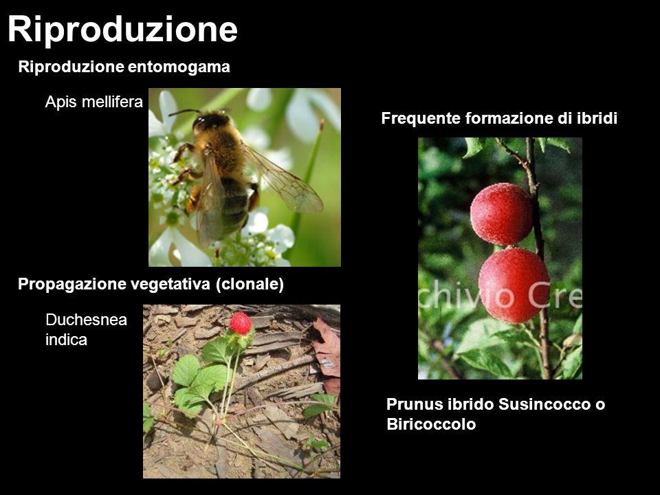Riproduzione entomogama Riproduzione Apis mellifera Frequente formazione di ibridi Propagazione vegetativa (clonale) Duchesnea indica Prunus ibrido Su
