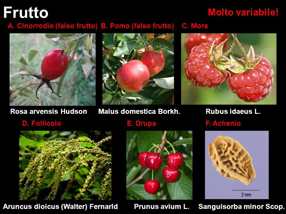 Molto variabile! Frutto Rosa arvensis Hudson A. Cinorrodio (falso frutto) Malus domestica Borkh. B. Pomo (falso frutto) D. Follicolo Aruncus dioicus (