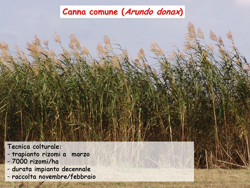 Tecnica colturale: – trapianto rizomi a marzo – 7000 rizomi/ha – durata impianto decennale – raccolta novembre/febbraio Canna comune (Arundo donax)