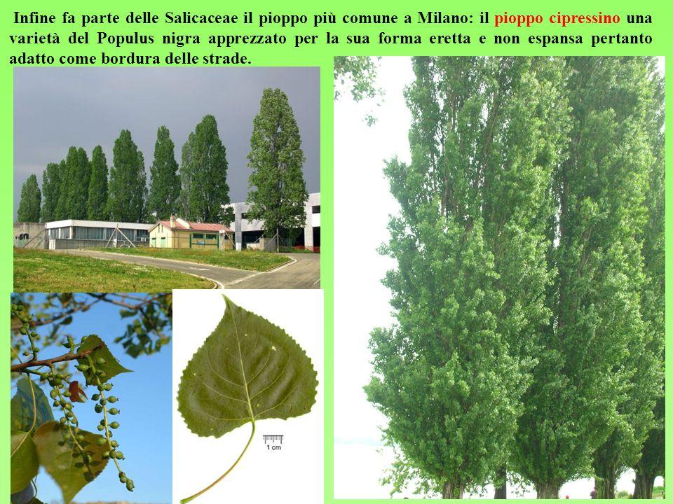 Infine fa parte delle Salicaceae il pioppo più comune a Milano: il pioppo cipressino una varietà del Populus nigra apprezzato per la sua forma eretta