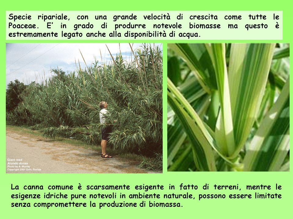 Specie ripariale, con una grande velocità di crescita come tutte le Poaceae. E in grado di produrre notevole biomasse ma questo è estremamente legato