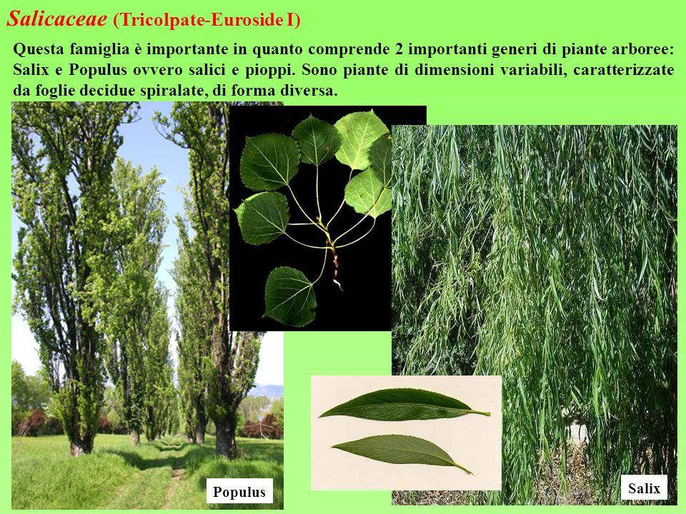 Questa famiglia è importante in quanto comprende 2 importanti generi di piante arboree: Salix e Populus ovvero salici e pioppi. Sono piante di dimensi